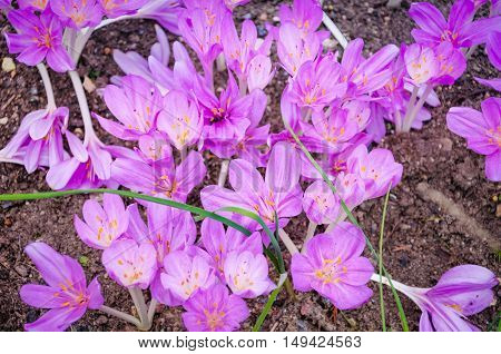 Autumn Crocus in garden that it blooms in September-October. Colchicum autumnale commonly known as autumn crocus meadow saffron or naked lady is an autumn-blooming flower that resembles the true crocuses.