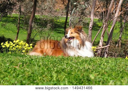 Shetland sheepdog (shelty dog) enjoying a walk in the park