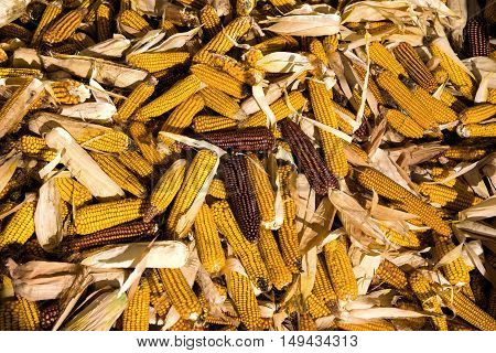 A pile of corn cobs in the farm. Corn cobs background