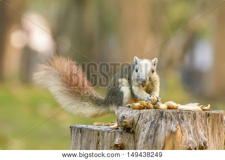 Squirrel eat nut on the stump at park.