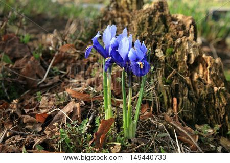 Iris reticulata harbinger of spring. A new beginning in nature