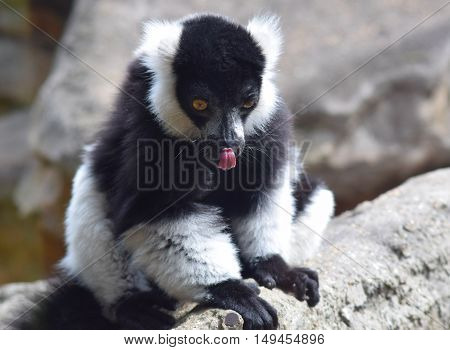 endanagered black and white ruffed lemur animal