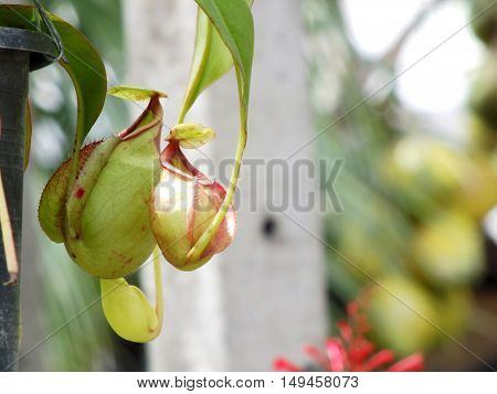 Close up of nepenthes carnivorous green  plant