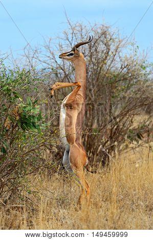 Giraffidae Antelope Gerenuk