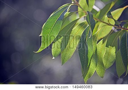 Back lit leaves of the Australian native Protea, the Woody Pear, Xylomelum pyriforme, showing prominent venation pattern. Royal National Park, Sydney, Australia