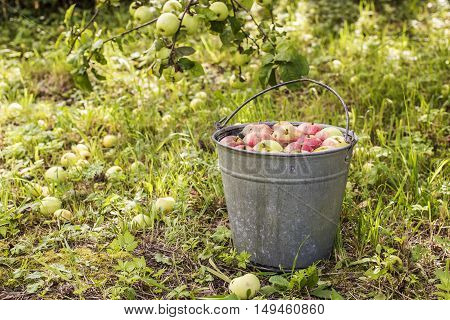 apples lying in the water in a metallic bucket standing on the a background branches of with apples in the garden