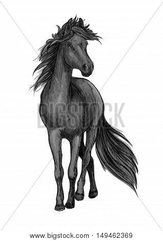 Walking black horse pencil sketch portrait. Stallion standing on hoofs with mane and tail waving in wind