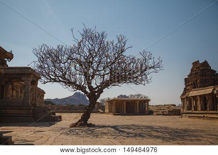 Magnolia tree in tourist place Hampi Karnataka India