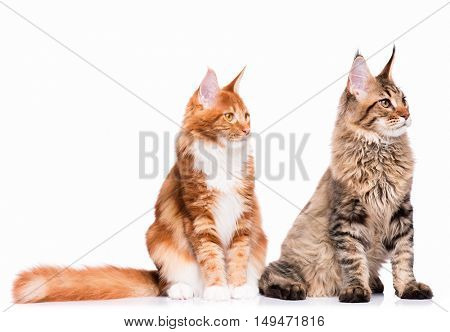Beautiful Maine Coon kittens - 8 and 5 months old. Tabby cats sitting in front and looking away. Cute striped kitties, isolated on white background.