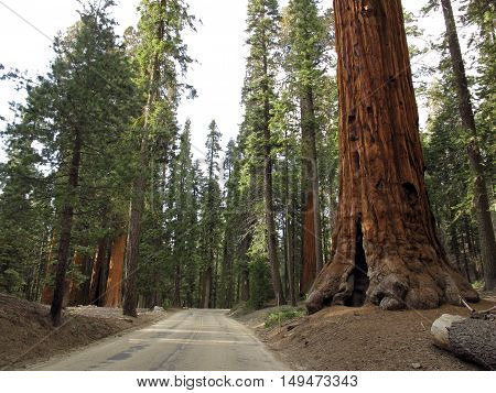 A road lined with giant redwoods through the Sequoia Park, California, USA. Light, natural colors.