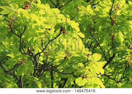 Green Buckeye Tree Background