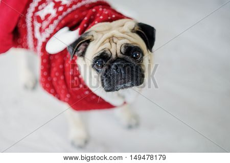 Amusing doggie of breed a pug in a reindeer suit. The dog is dressed in a red-white sweater. The clever animal looks in the camera sad eyes. Merry Christmas. Happy New Year.