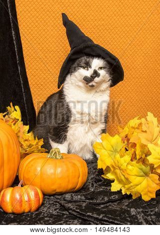 A black and white cat sits with pumpkins and falls leaves wearing a witch's hat.