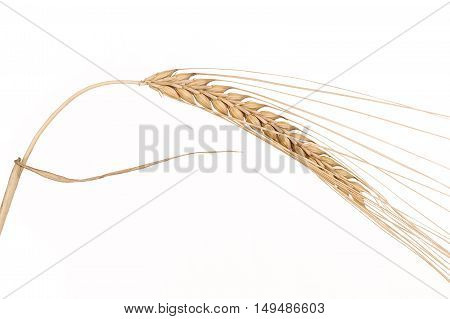 Wheat isolated on white background. Close-up wheat.