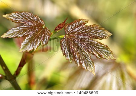 Closeup of a young shiny maple leaves in early spring