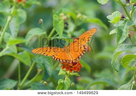 Gulf fritillary butterfly in the garden with blurry background