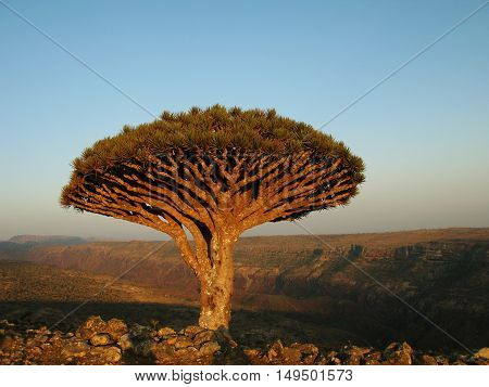 Dragon tree endemic plant of Socotra island Yemen