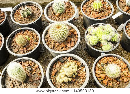 Group of cactus in the pots at plant nursery.