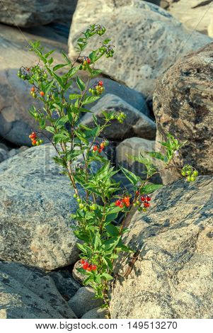 A bush with red berries growing among the large gray stones on a bright sunny day.