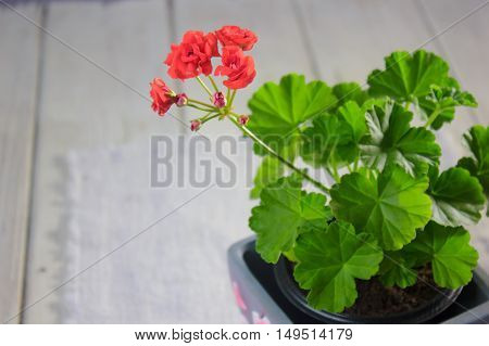 Rosebud pelargonium. Red heranium flower with the green leaves.