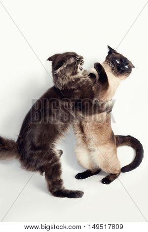 Two cats fighting on a white background
