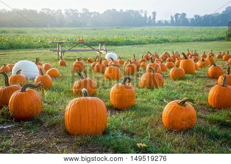 Pumpkins on display in this foggy early morning field in rural Central New Jersey.