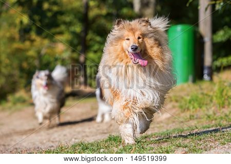 Beautiful Collie Dog Running Outdoors