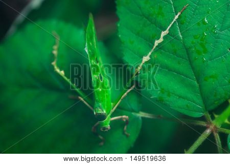 Malaysian leaf grasshopper (Ancylecha fenestrata), also known as the Malaysian leaf katydid. Wildlife animal.