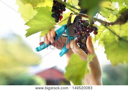 Gardener reaping red grapes. Summer harvest ripe bunches of grapes
