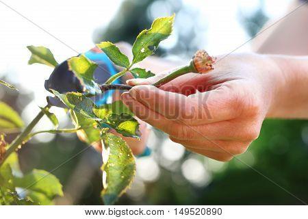 Care rose bushes. Gardener pruning shears cut shrubs roses
