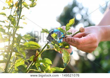 Gardening. Care of roses in the garden. Flower garden, tending roses.
