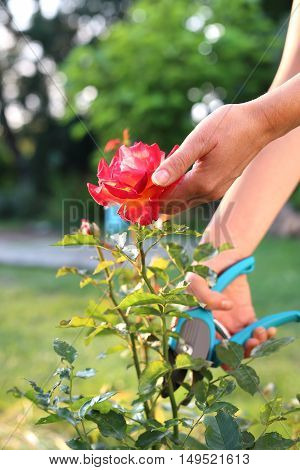 Faded stems of roses, pruning. Care rose bushes. Gardener pruning shears cut shrubs roses