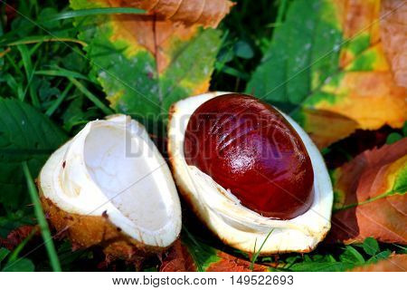 Horse chestnut conker still life with leaves.