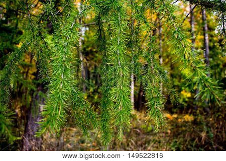 Fir branches in the autumn forest. On blurred background discern yellow foliage