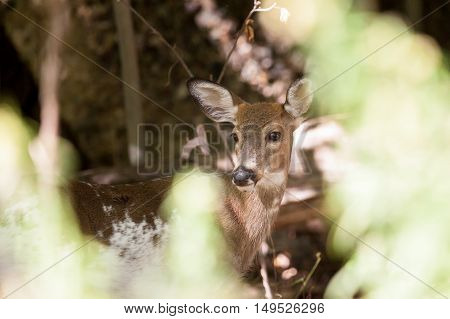 Piebald Whitetailed Buck
