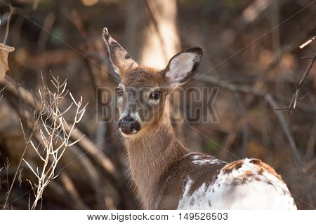 Piebald Whitetailed Doe