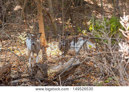 Piebald Whitetailed Deer Siblings