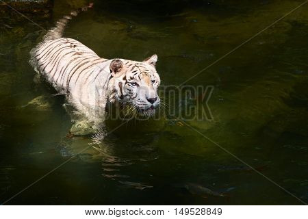 White tiger prowls in clean but dark water