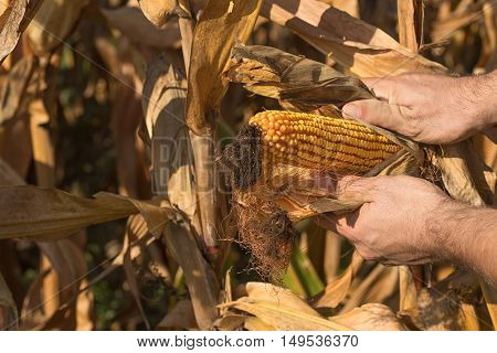 Farmer holding corn cob in hand in corn field. Harvest time with fall corn.