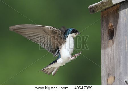 Male Tree Swallow (tachycineta bicolor) bringing food to the nest