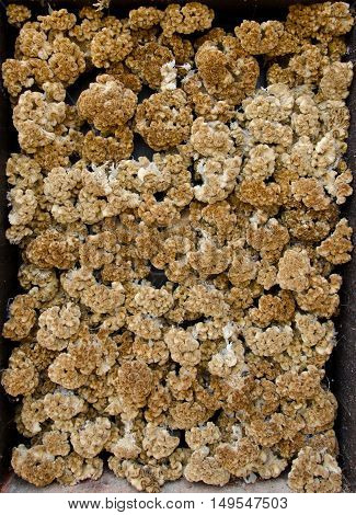 An array of dried out yellow cockscomb, or celosia cristata