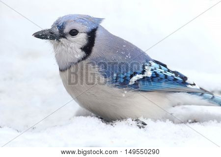 Blue Jay (corvid cyanocitta) in wither with snow