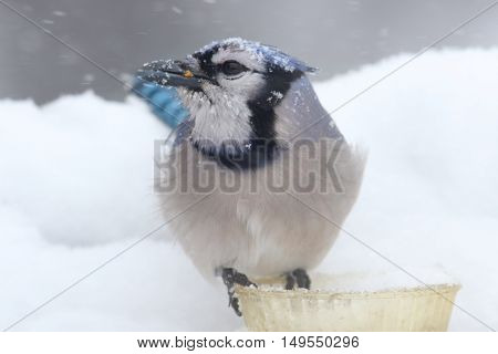 Blue Jay (corvid cyanocitta) on a feeder in wither with snow