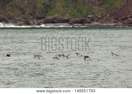 Mixed flock of Uria and Tufted puffin are flying with a fish in its beak.