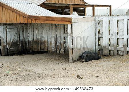 Animals in captivity. Black pig lying near the fence.