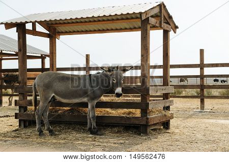Animals in captivity. Donkey standing at the trough.
