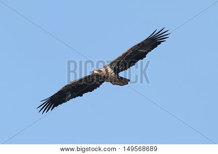 Bald Eagle (haliaeetus leucocephalus) in flight against a blue sky