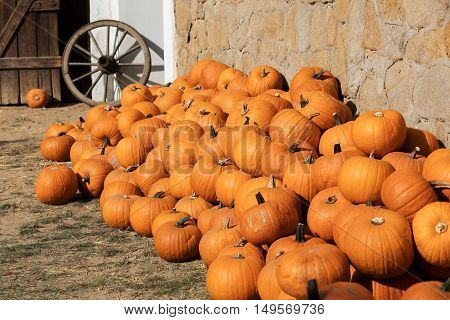 Ripe Autumn Pumpkins On The Farm