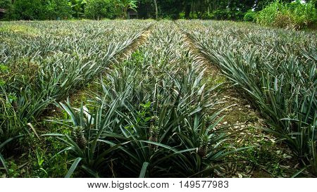 Pineapple farm in Malaysia,with young unripened fruits.