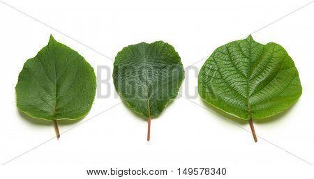 fresh kiwi leaves over a white background